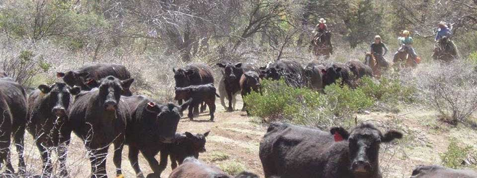 Cattle Roundup At Cherry Creek Lodge